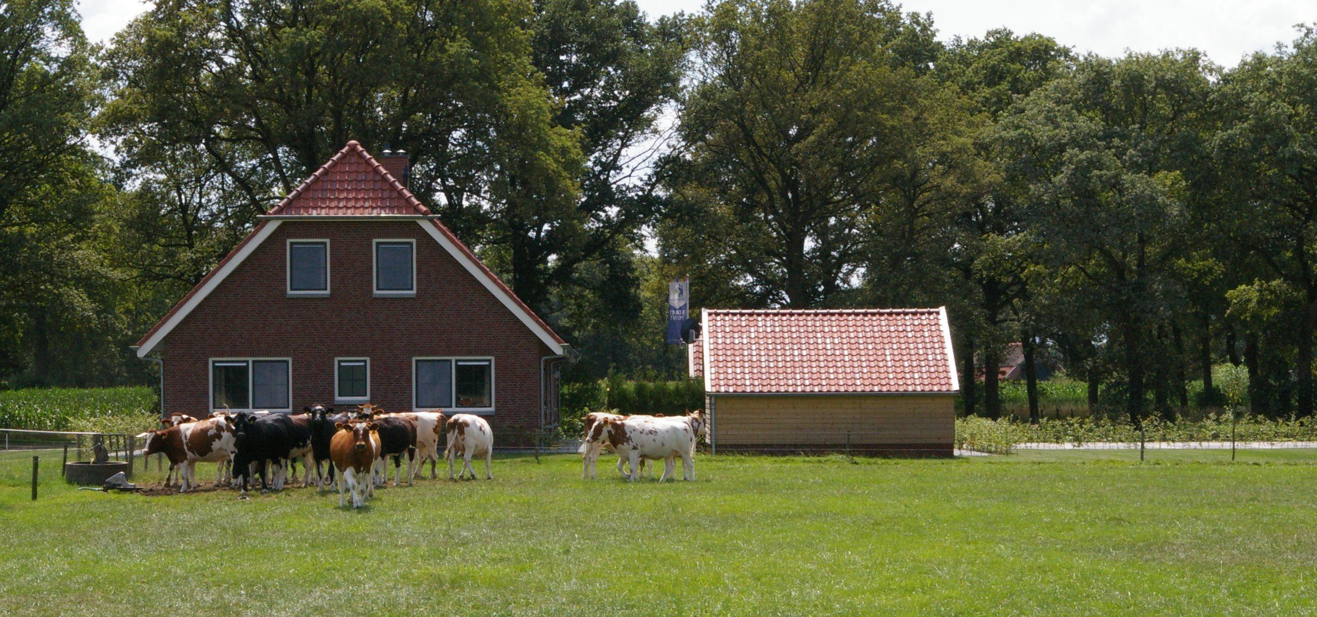 Koe en boerderij bij Kosman